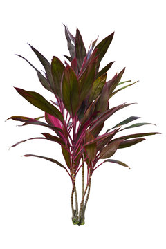 Ti plant or Cordyline Fruticosa tropical tree for gardening isolated on white background with clipping path.