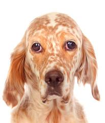 Sad dog looking at camera