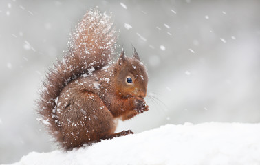 Photo sur Aluminium Squirrel Cute red squirrel sitting in the snow covered with snowflakes