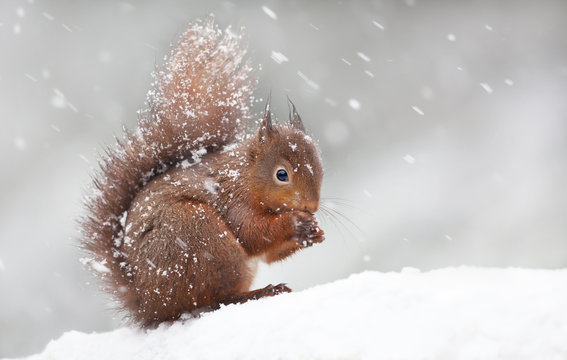 Cute red squirrel sitting in the snow covered with snowflakes