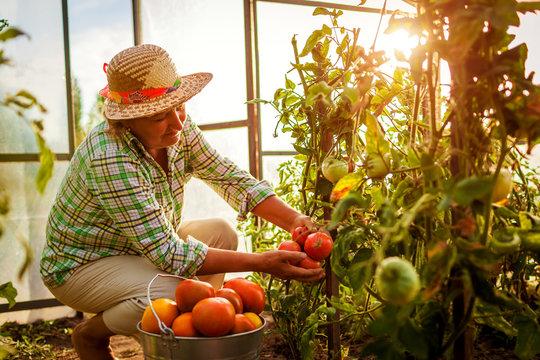 Senior woman farmer gathering crop of tomatoes at greenhouse on farm. Farming, gardening concept