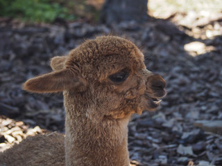 Young brown alpaca