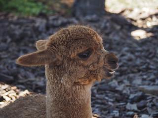 Young brown alpaca