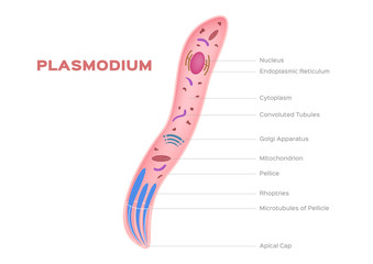 Plasmodium , intracellular, parasites of vertebrates and insects / organ anatomy / micro vector