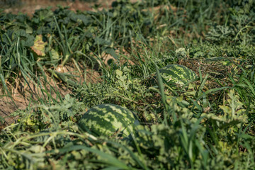 Ecological and traditional farming