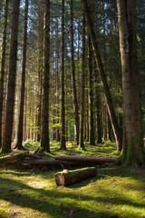 forêt arbre sapin mousse fantastique décor lumière vert nature grand forestier conte