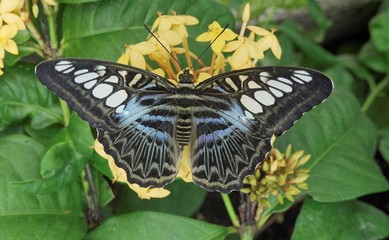Tropical Clipper butterfly