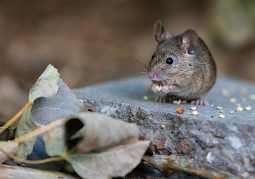 Common House Mouse Eating Birdseed