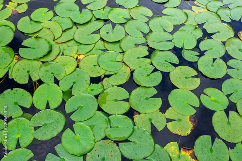 American water lily pads (Nymphaea odorata) floating on water - Long