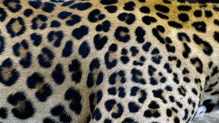 Beautiful Leopard skin texture background natural pattern, with Copy Space for Text.