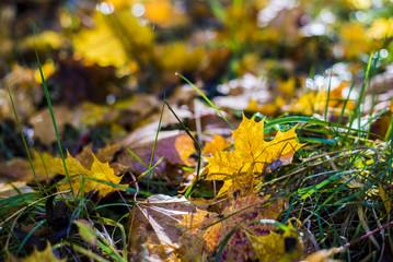 Autumn leaves close-up. Riga, Latvia