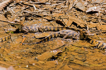 A nest of very young baby crocodiles in Tortuguero national park (Costa Rica)