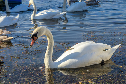 Swans in the sun
