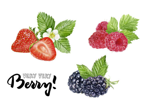 blackberry, raspberry, strawberry watercolor illustration hand draw illustration