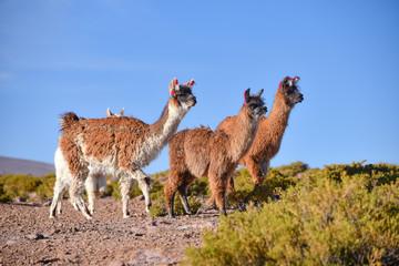 A group of Greater Rhea / Nandu (Rhea americana) graze on the Altiplano, in the Eduardo Avaroa National Reserve, Uyuni, Bolivia
