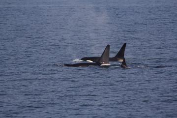 3 Bigg's/Transient Orca/Killer Whales among the San Juan islands, WA, USA