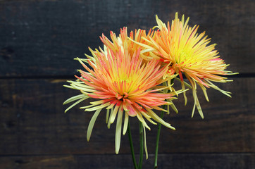 Close up of two orange and yellow spider chrysanthemums