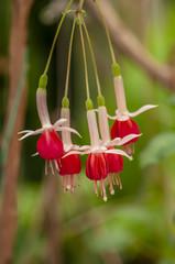 Fuchsia hybrida Voss