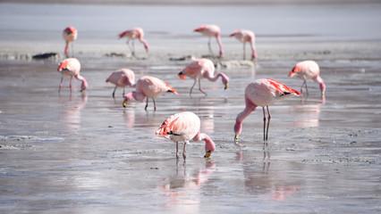 James's Flamingo (Phonenicoparrus Jamesi) grazing on the frozen waters of Laguna Hedionda. Sud Lipez Province, Uyuni, Bolivia
