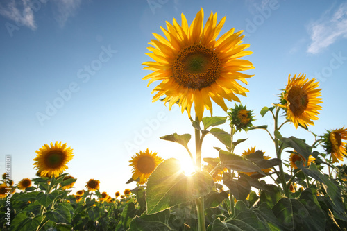 Fototapete Field of sunflowers.