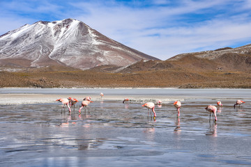 Foto auf AluDibond Flamingo Flamingos feeding on the frozen waters of Laguna Hedionda, Sud Lipez, Uyuni, Bolivia