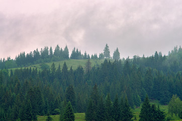 Poster Morning with fog Fog in the forest of pine trees in the mountains. Carpathians Ukraine