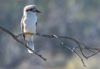 Kookaburra on a branch