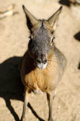 Portrait of Patagonian Cavy Mara (dolichotis mammal)