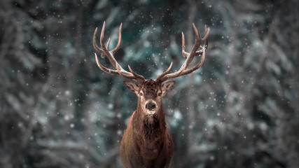 Poster Hert Noble deer male in winter snow forest. Artistic winter christmas landscape.