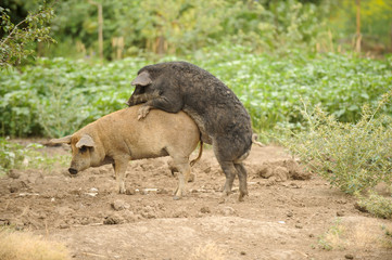 Young pigs have coupled against a background of green trees. The concept of breeding domestic swine.