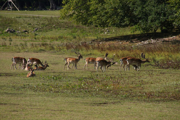 Wild deer in Sweden, Skane, Wildlife