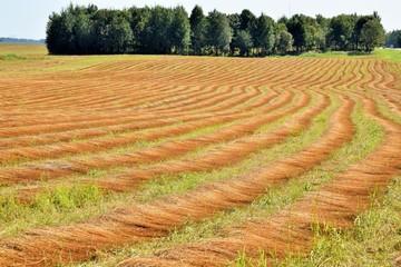 ровные ряды скошенного льна ярко рыжего цвета на поле