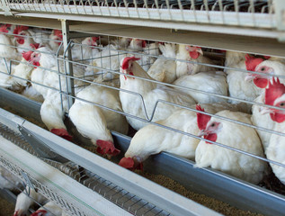 Poultry farm for breeding chickens, chicken eggs go through the transporter, chickens and eggs, factory, animal