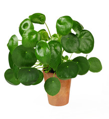 Ufopflanze, pilea peperomioides