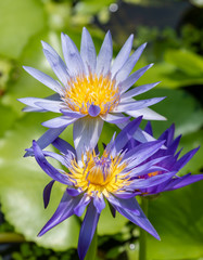 Purple Water Lily Flowers blooming in pond