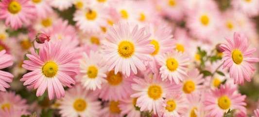 Beautiful Wide Angle background with pink chrysanthemum flowers