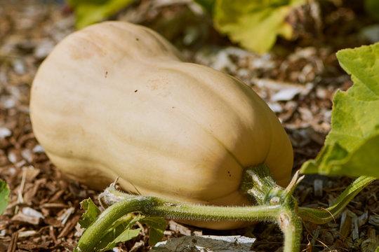 butternut squash growing in the field