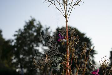 Spinnennetz am indischen Springkraut (Impátiens glandulífera) mit Morgentau . Standort: Deutschland, Nordrhein Westfalen