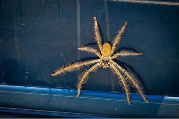 Huntsman spider Sparassidae on a car in Australia