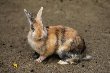 Full body of multicolor domestic pygmy rabbit (bunny)