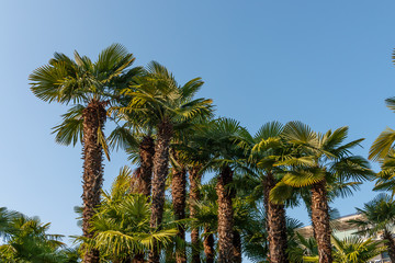 Palm trees with blue sky in sunny weather, building in the background