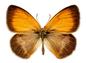 Coenonympha arcania on a white background