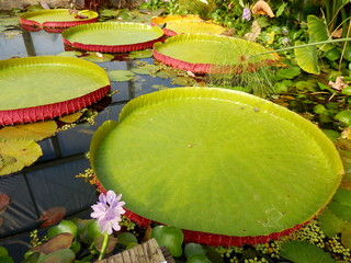 Close up of a water lily pad - variety Tropical Giant