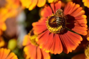 Bee is sitting on a helenium flower