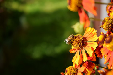 Bee is sitting on a helenium flower. Copy space