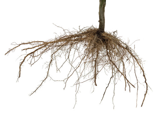 Roots of tree or plant isolated on white background