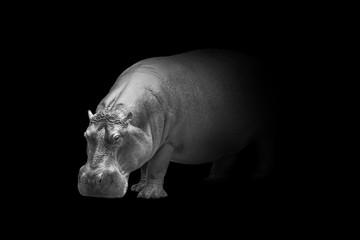 Wall Mural - hippopotamus wildlife animal interior art collection