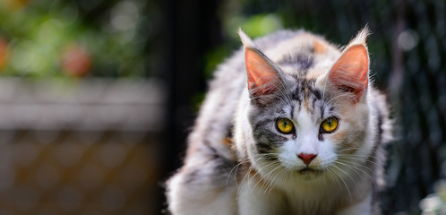 Close up of an adorable silver patched and white cat looking at the front outdoor in garden. Cat yellow eyes in a big cage outside. Mean face cat outdoor