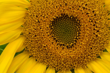 Close-up of a yellow unripe sunflower