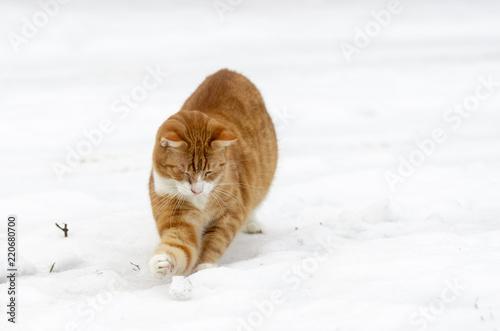 Duży Rudy Kot Bawi Się śnieżkami Stock Photo And Royalty Free